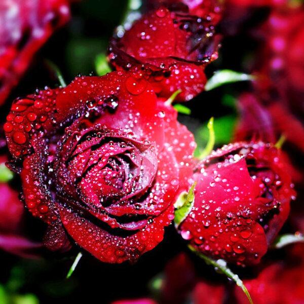 Розы свежесрезанные